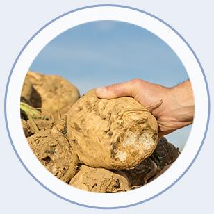 Close up sugar beet in hand
